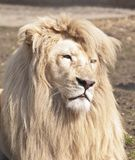 Large male white lion Stock Images