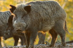 Large male wild boar. Looking at the camera  Sus scrofa Royalty Free Stock Photo