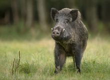 Large male wild boar Stock Photography
