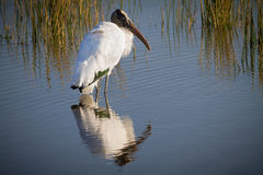 Large male wood stork reflects image in shallow pond Royalty Free Stock Photos