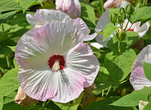 Large mallow flowers. In summer Royalty Free Stock Image