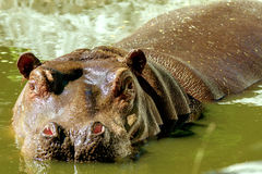 Large mammal of a wild animal, hippopotamus in water Royalty Free Stock Photography
