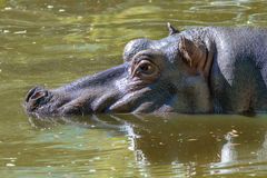 Large mammal of a wild animal, hippopotamus in water Royalty Free Stock Image