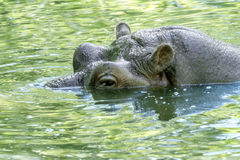 Large mammal of a wild animal, hippopotamus in water Stock Images