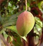 Large Mango Fruit on Tree Royalty Free Stock Photography