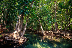 large mangrove tree trunk with interlaced roots and hollow Royalty Free Stock Photos