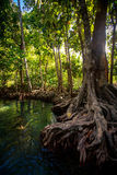 Large mangrove tree trunk with interlaced roots near green river. Large old mangrove tree trunk with interlaced whimsically roots near river against mangrove Stock Photography