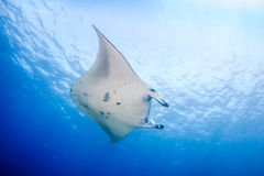 Large Manta Ray in blue water Royalty Free Stock Photos