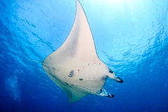 Large Manta Ray on a Coral Reef royalty free stock photos