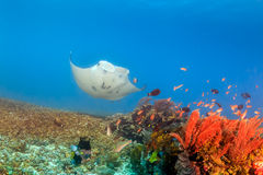 Large Manta Ray on a Coral Reef. Large Manta Ray swimming over a tropical coral reef Royalty Free Stock Photo