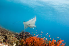 Large Manta Ray on a Coral reef. Large Manta Ray swimming over a tropical coral reef Royalty Free Stock Photography