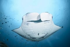 Large manta ray swimming over royalty free stock images