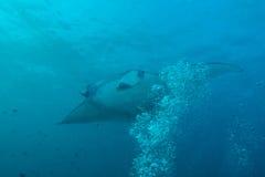 Large manta swims close to the camera, Maldives royalty free stock photo