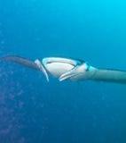 Large manta swims close to the camera, Maldives stock photo