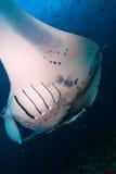 Large manta swims close to the camera, Maldives stock images