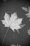Large maple leaf on pavement royalty free stock photos