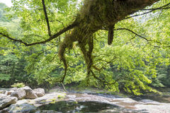 Large maple and river Stock Photography