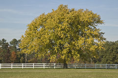 Large Maple tree Stock Image