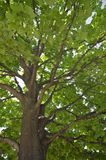Large maple tree Stock Photos