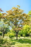 Large maple tree on sunny summer day in green park Royalty Free Stock Photography