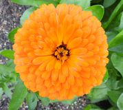 Large marigold flower head orange. Photo of a large orange marigold flower head in full summer bloom stock images