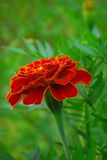 Large marigold flowers growing on a green flower bed.  royalty free stock photo