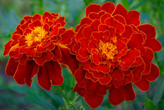 Large marigold flowers growing on a green flower bed Stock Photography