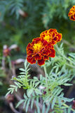 Large marigold flowers growing on a green flower bed Stock Photos