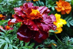 Large marigold flowers growing on a green flower bed.  stock image