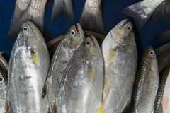 Large marine deep-sea fish tuna for sale: the fish are piled in a pile in metal basin, the tails of other fish are visible. Large marine deep-sea fish tuna for Royalty Free Stock Photo