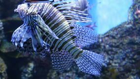 Large marine fish, underwater life.  stock video
