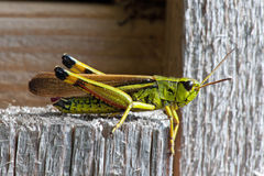 Large Marsh Grasshopper (Stethophyma grossum) Stock Photos