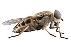 Large marsh horsefly species Tabanus autumnalis Royalty Free Stock Photos