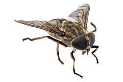 Large marsh horsefly species Tabanus autumnalis Royalty Free Stock Images