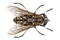 Large marsh horsefly species Tabanus autumnalis Stock Photos