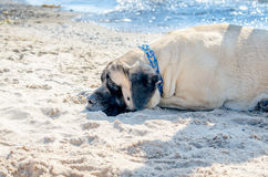Large Mastiff dog rests on a sandy beach. A large Mastiff dog rests on a sandy beach enjoying the dog days of summer Stock Photo