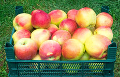 Large Mature apples in the container for storage.. Stock Images