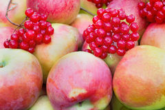 Large Mature apples in the container for storage.. Stock Photos