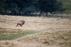 Large mature Red Deer stag Royalty Free Stock Photos