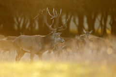 Large mature Red Deer stag Royalty Free Stock Photo