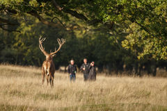 Large mature Red Deer stag Stock Images