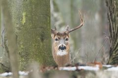Whitetail buck in forest. Large mature whitetail buck behind trees in forest on sunny day royalty free stock photo