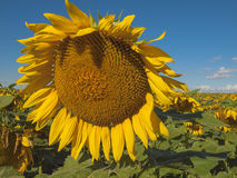 Large matured sunflower. Winnipeg. Canada. Large matured sunflower against the blue sky . Winnipeg. Canada Royalty Free Stock Image