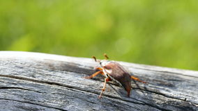 A large may beetle creeps along the trunk of an old tree stock video