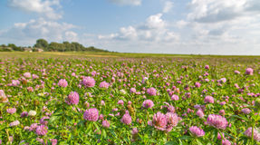 Large meadow  of pink clover Stock Photo
