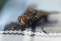 A large meat fly sits on the tablecloth of the table. A fat large beef fly with huge eyes sits on the tablecloth of the dacha table in anticipation. Sunny summer Stock Photo