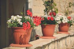 Large Mediterranean Geranium potted. Large white and red Mediterranean Geranium in pots, toned stock photos