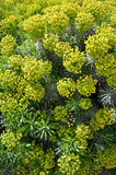 Large Mediterranean spurge in sunny day. Palisades spurge; Euphorbia; characia Royalty Free Stock Photos