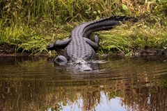 Large menacing American alligator Alligator mississippiensis. In the wetland and marsh at the Myakka River State Park in Sarasota, Florida, USA Stock Photography