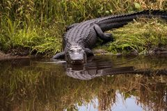 Large menacing American alligator Alligator mississippiensis. In the wetland and marsh at the Myakka River State Park in Sarasota, Florida, USA Stock Image